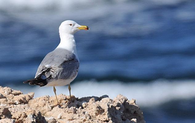 Armeniermöwe, Armenian gull, Larus armenicus