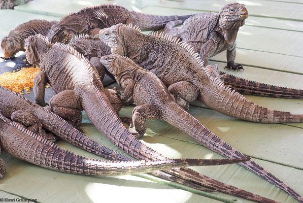 Leguane beim Massenschmaus