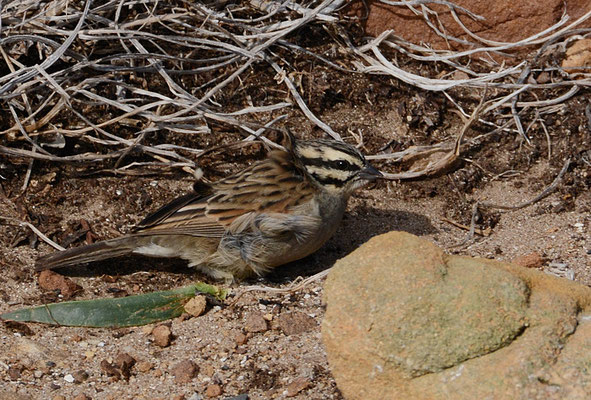 KAPAMMER, CAPE BUNTING, EMBERIZA CAPENSIS