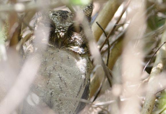 HINDU-ZWERGOHREULE, INDIAN SCOPS OWL, OTUS BAKKAMOENA