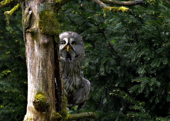 BARTKAUZ, GREAT GREY OWL, STRIX NEBULOSA