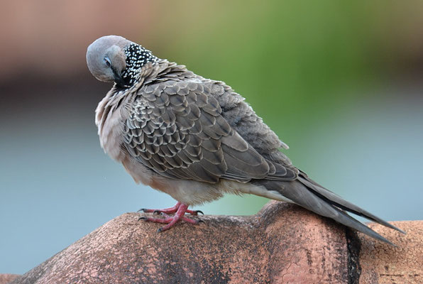 PERLHALSTAUPE, SPOTTED DOVE, STREPTOPELIA CHINENSIS