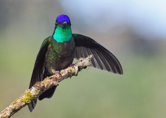 TALAMANCAKOLIBRI, ADMIRABLE HUMMINGBIRD, EUGENES SPECTABILIS