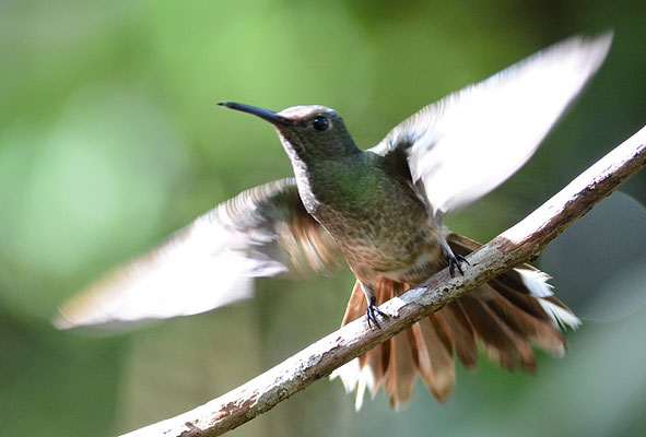 SCHUPPENBRUSTKOLIBRI, SCALY-BREASTED HUMMINGBIRD, PHAEOCHROA CUVIERII