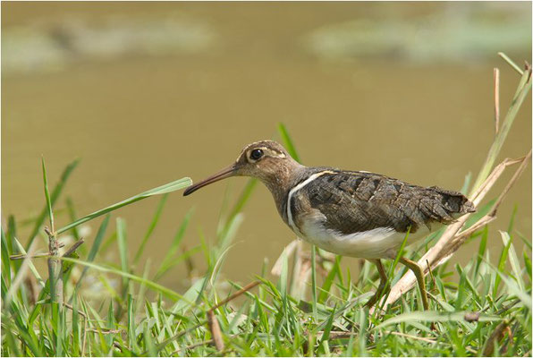 GOLDSCHNEPFE, GREATER PAINTED-SNIPE, ROSTRATULA BENGHALENSIS