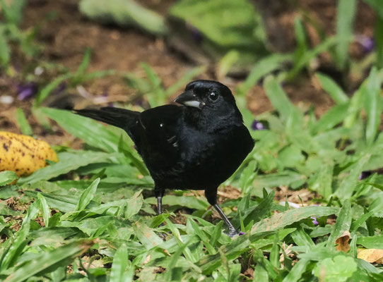 SCHWARZTANGARE, WHITE-LINED TANAGER, TACHYPHONUS RUFUS