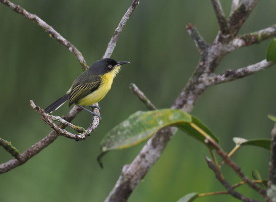 GELBBAUCH-SPATELTYRANN, COMMON TODY-FLYCATCHER, TODIROSTRUM CINEREUM