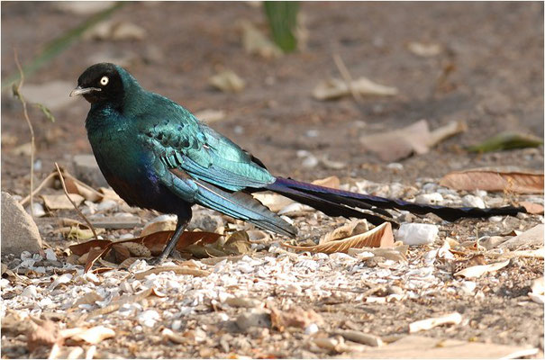 LANGSCHWANZGLANZSTAR, LONG-TAILED GLOSSY STARLING, LAMPROTORNIS CAUDATUS