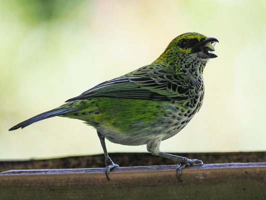 TROPFENTANGARE, SPECKLED TANAGER, TANGARA GUTTATA
