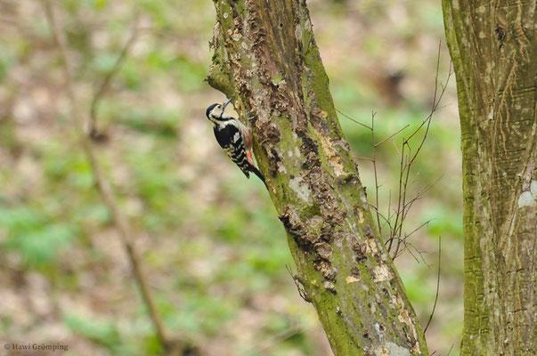 Nur in Wäldern mit sehr viel Totholz kommt der Weißrückenspecht vor. Er liebt Urwälder, in denen er seine größte Dichte erreicht. Er ist etwas größer als der Buntspecht, hat einen längeren Hals und längeren Schnabel. Hier ist das Weibchen zu sehen.