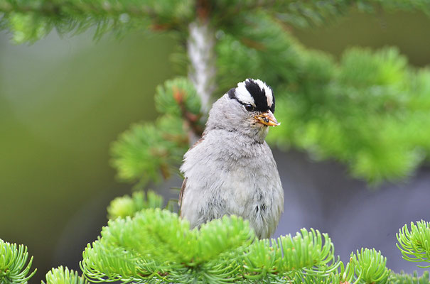 DACHSAMMER, WHITE-CROWNED SPARROW, ZONOTRICHIA LEUCOPHRYS