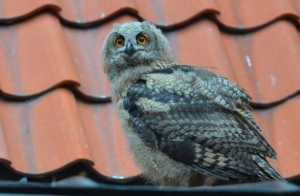 UHU, EAGLE OWL, BUBO BUBO
