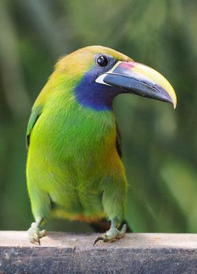 Mit nur 30 cm Größe ist der Laucharassari (Aulacorhynchus prasinus) im Vergleich zu den vorherigen Tukanarten recht klein. Ihn findet man zwischen 800 und 2400 m Höhe in Costa Rica.