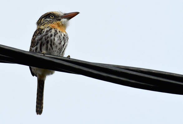 FLECKENFAULVOGEL, SPOT-BACKED PUFFBIRD, NYSTALUS MACULATUS