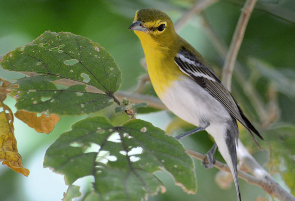 GELBKEHLVIREO, YELLOW-THROATED VIREO, VIREO FLAVIFRONS