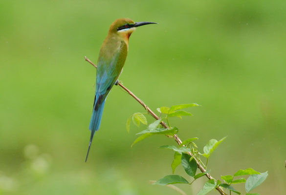 BLAUSCHWANZSMARAGDSPINT, BLUE-TAILED BEE-EATER, MEROPS PHILIPPINIS
