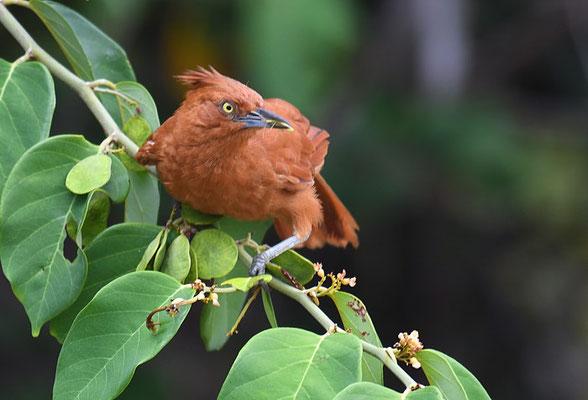 Brauncacholote, Caatinga cacholote, Pseudoseisura cristata