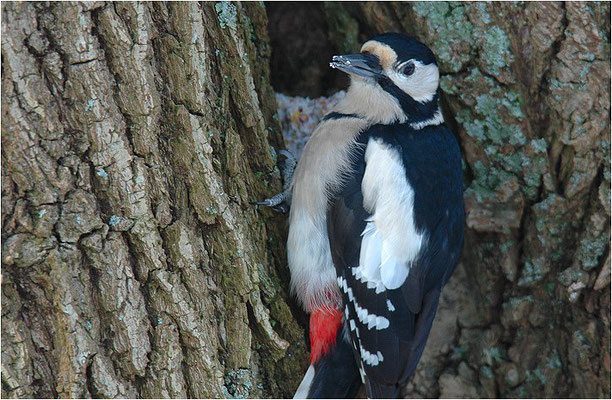 BUNTSPECHT, GREAT SPOTTED WOODPECKER, DENDROCOPOS MAJOR