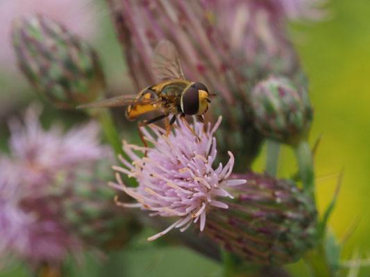 Gemeine Feldschwebfliege, Metasyrphus corollae