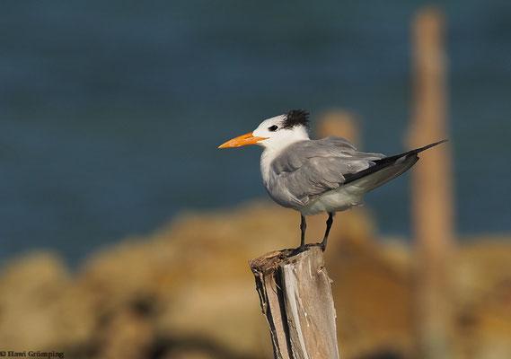Königsseeschwalbe (Royal Tern)