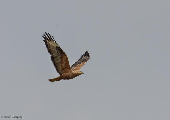 Adlerbussard, Long-legged buzzard, Buteo rufinus