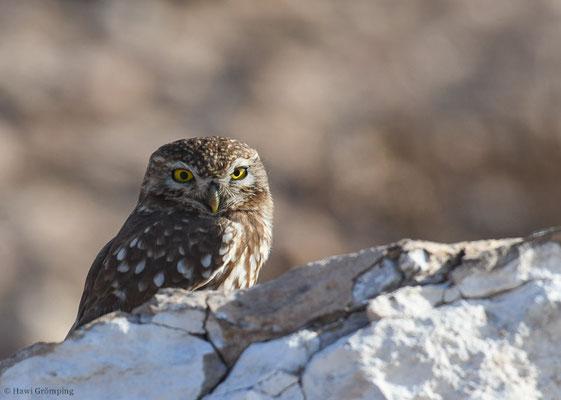 STEINKAUZ, LITTLE OWL, ATHENE NOCTUA
