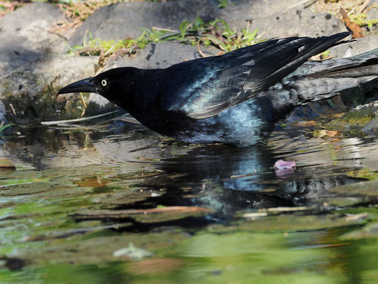DOHLENGRACKEL, GREAT-TAILED GRACKLE, QUISCALUS MEXICANUS