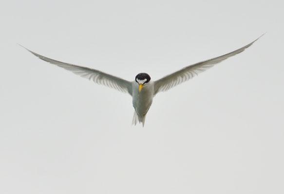 Amerikanische Zwergseeschwalbe, Least tern, Sternula antillarum