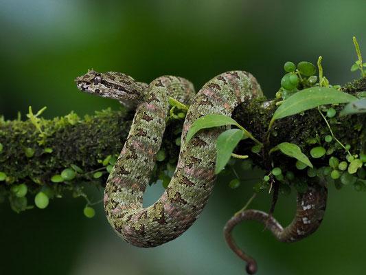 Schlegelsche Lanzenotter (Bothriechis schlegelii): Sie besitzt lange Zähne und ein Gift, das nicht nur hämotoxisch ist, sondern auch neurotoxisch wirkende Bestandteile besitzt.