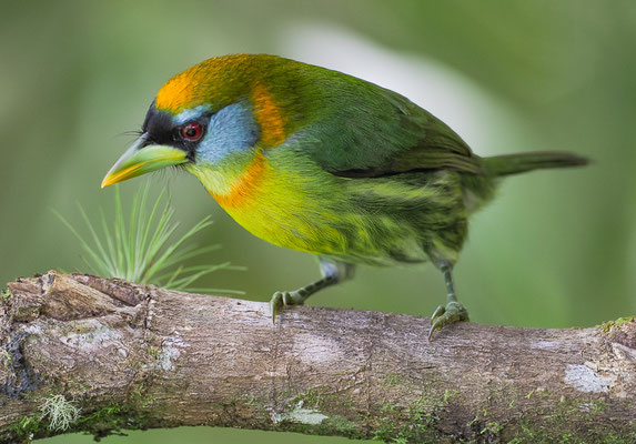 Das Weibchen des Andenbartvogels ( Red-headed Barbet-Aulacorhynchus prasinus) ist völlig anders gefärbt als das Männchen und wie dieses unverkennbar.