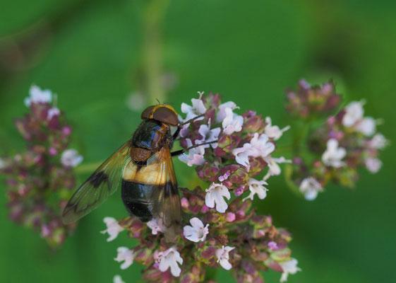 Gemeine Waldschwebfliege, Volucella pelluscens