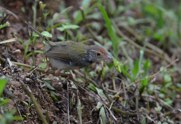 STRICHEL-SCHNEIDERVOGEL, DARK-NECKED TAILORBIRD, ORTHOTOMUS ATROGULARIS