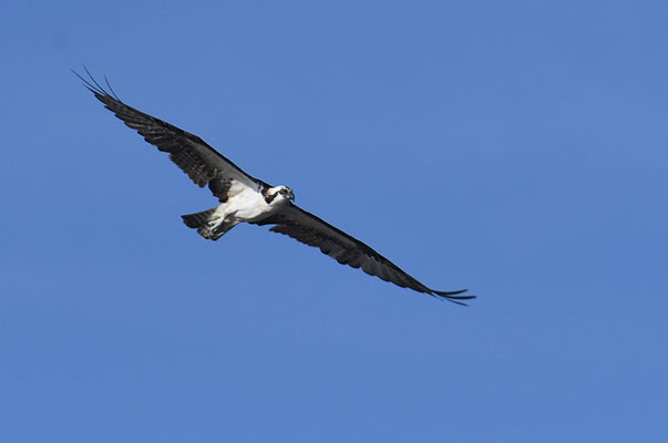 FISCHADLER, OSPREY, PANDION HALIAETUS