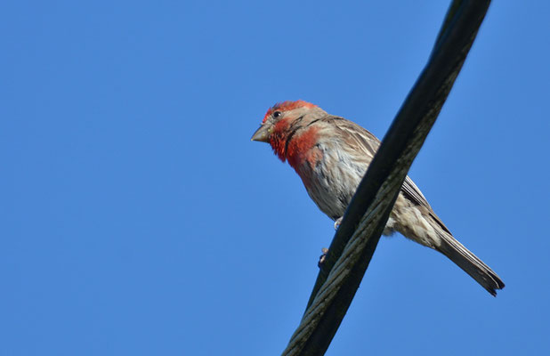 HAUSGIMPEL, HOUSE FINCH, CARPODACUS MEXICANUS