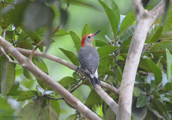 Der Rotkappenspecht (Red-crowned Woodpecker - Melanerpes rubricapillus), ein weiterer Vertreter der Echten Spechte - Picinae), ähnelt dem Hoffmannspecht und kommt auch in Mittelamerika vor.