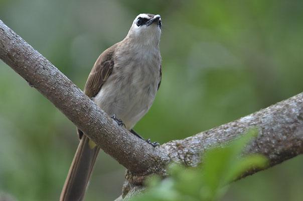 Augenstreifenbülbül, Yellow-vented bulbul, Pycnonotus goiavier