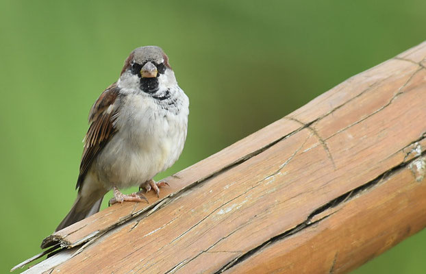 HAUSSPERLING, HOUSE SPARROW, PASSER DOMESTICUS