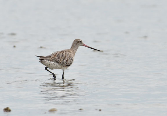 PFUHLSCHNEPFE, BAR-TAILED GODWIT, LIMOSA LAPPONICA