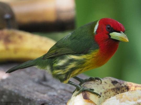 Andenbartvogel, Red-headed barbet, Eubucco bourcierii
