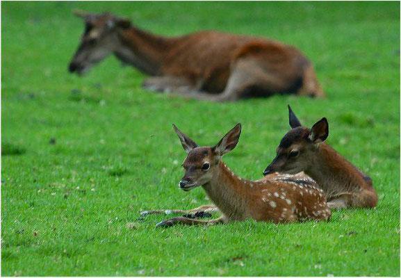 Die Hirschkälber tragen noch ihr geflecktes Tarnfell.