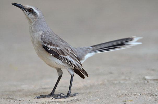 TROPENSPOTTDROSSEL, TROPICAL MOCKINGBIRD, MIMUS GILVUS