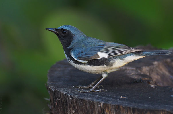 Der Blaurückenwaldsänger brütet in Nordamerika (Casa Ana).