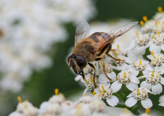 Mistbiene (Scheinbienen-Keilfleckschwebfliege), Eristalis tenax