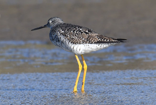GROSSER GELBSCHENKEL, GREATER YELLOWLEGS, TRINGA MELANOLEUCA