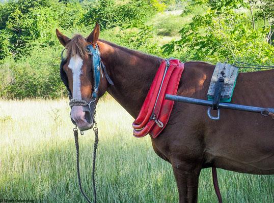 Wenn es zu abenteuerlich fürs Pferd wurde, wurde es abgespannt und durfte weiden.