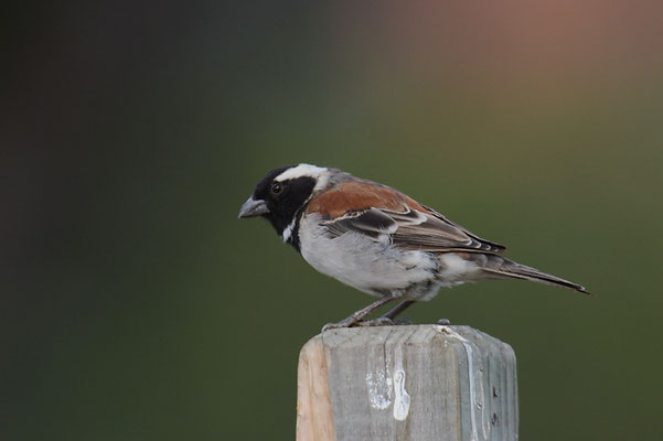 KAPSPERLING, CAPE SPARROW, PASSER MELANURUS