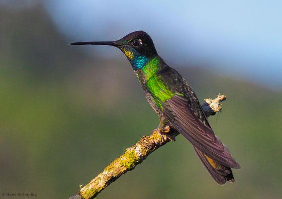 FEUERKEHLKOLIBRI, FIERY-THROATED HUMMINGBIRD, PANTERPE INSIGNIS