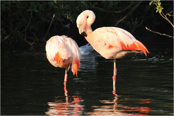 CHILEFLAMINGO, CHILEAN FLAMINGO, PHOENICOPTERUS CHILENSIS