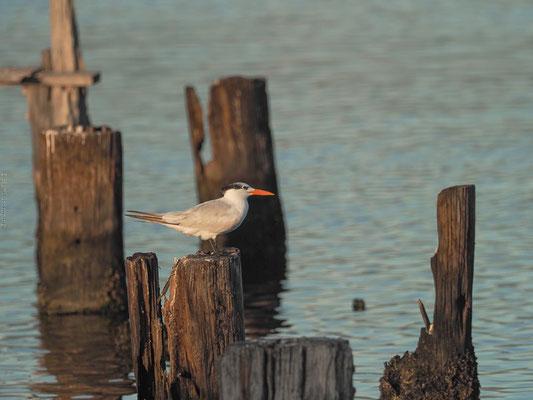 Eine Königsseeschwalbe (Royal Tern) im Hafen