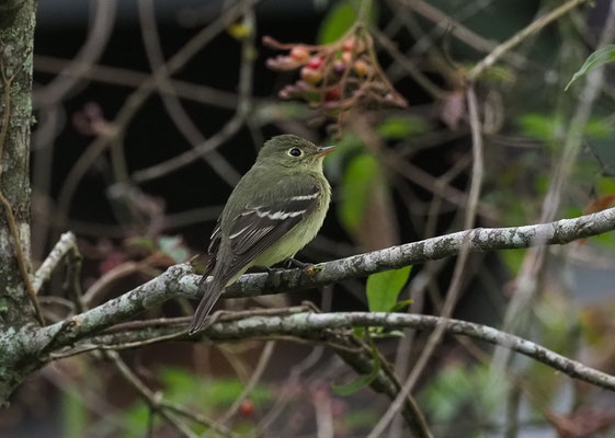 BIRKENTYRANN, YELLOW-BELLIED FLYCATCHER, EMPIDONAX FLAVIVENTRIS